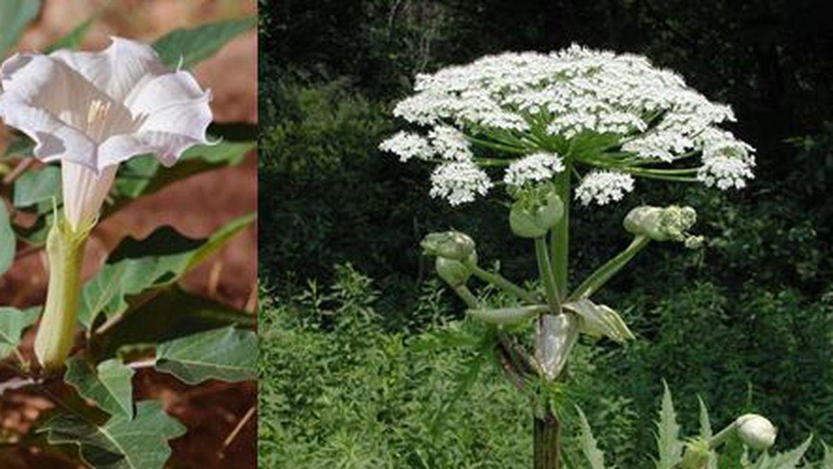 Jimson Weed (left), and Giant Hogweed (right)   Courtesy: UHC