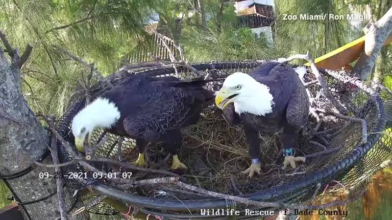 The pair of majestic birds seen in the livestream are parents and have been a bonded pair for...